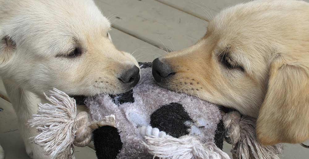 Two puppies pulling on a stuffed soccer ball toy.